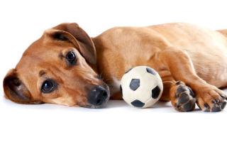 Плюсы и минусы собаки породы такса: содержание и характер питомца