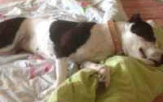 Порода собак питбуль: плюсы и недостатки животного, внешний вид и стандарт