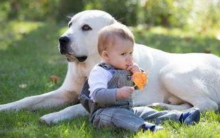 Порода собак алабай: плюсы и недостатки животных, здоровье итипичные болезни