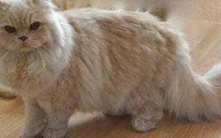 Британские кошки — плюсы, минусы и особенности породы