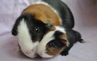Морская свинка в квартире: плюсы и минусы содержания, особенности ухода
