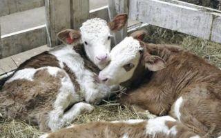 Симментальская породы коров: плюсы и минусы содержания, чем кормить животных