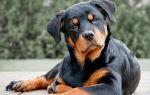 Плюсы и минусы собаки породы ротвейлер: особенности содержания и типичные болезни питомца