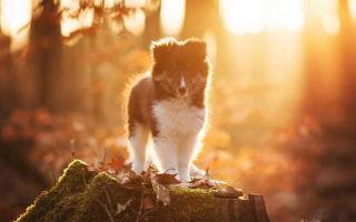 Порода собак шелти: плюсы и недостатки, история происхождения