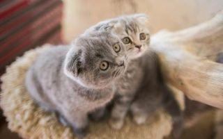 Шотландская вислоухая кошка — плюсы и минусы породы, виды и образ жизни животного