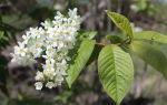 Черемуха на даче — плюсы и минусы растения, внешний вид и нюансы выращивания