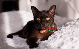 Плюсы и минусы бурманской породы кошек: описание породы и характера