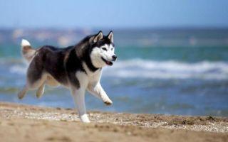 Кастрация собак — плюсы, минусы и что нужно знать