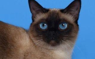 Плюсы и минусы сиамской породы кошки: описание питомца и особенности содержания