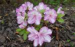 Азалии в саду: стоит ли связываться и выращивать растения