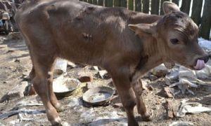 Швицкая порода коров: особенности, плюсы и минусы животных, размножение и отел