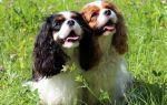 Кавалер кинг Чарльз-спаниель: плюсы и минусы породы собаки
