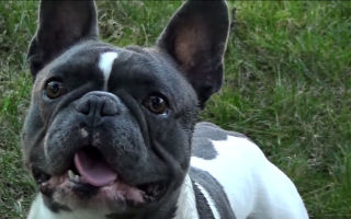 Плюсы и минусы породы французский бульдог: отзывы владельцев и условия содержания животных