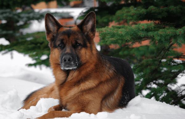 Немецкая овчарка — основные плюсы и минусы породы