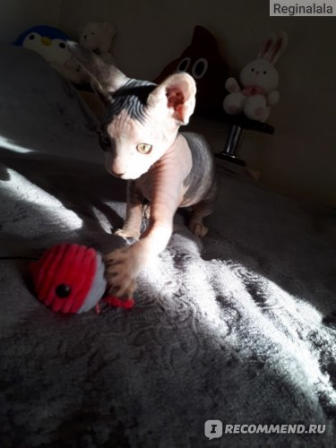 Порода кошек сфинкс: плюсы, минусы, стоит ли заводить