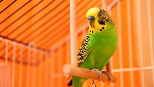 Плюсы и недостатки круглой клетки для попугая