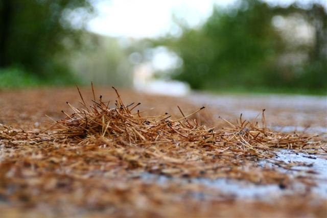 Сосна на участке: преимущества и недостатки выращивания