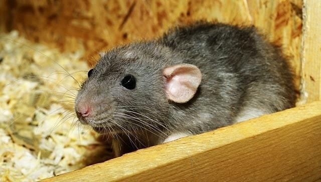 Стоит ли заводить крысу — все плюсы и минусы