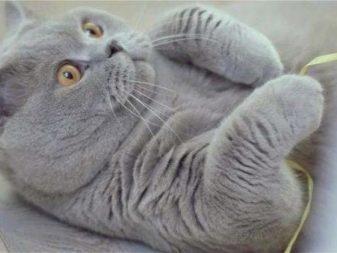 Британские кошки — плюсы, минусы и особенности