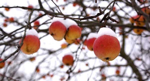 Стоит ли удобрять яблоню осенью?