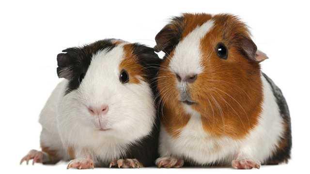 Морская свинка в квартире: плюсы и минусы