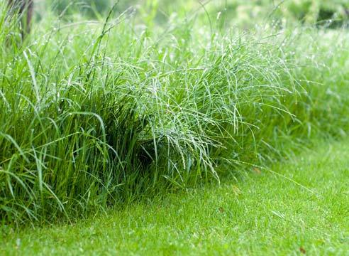 Райграс в газоне, его плюсы и минусы