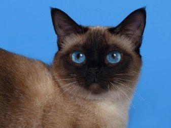 Плюсы и минусы сиамской породы кошки