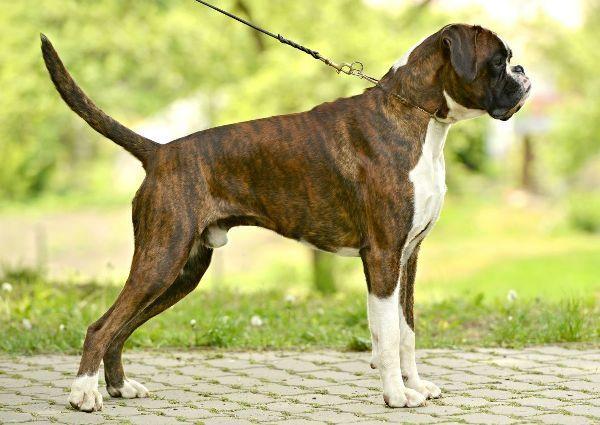 Плюсы и минусы собаки породы боксер