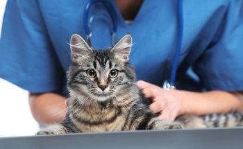 Стерилизация кошек: плюсы, минусы и что нужно знать