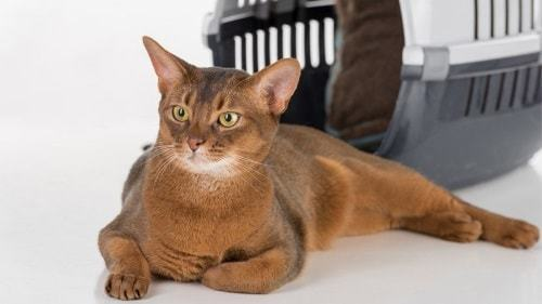 Абиссинская кошка: плюсы, минусы и особенности породы