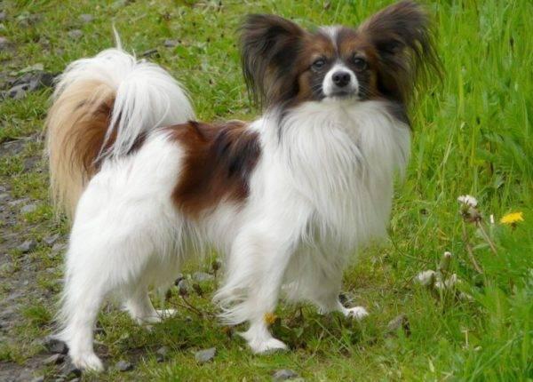 Плюсы и минусы породы собак фален