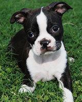Плюсы и минусы породы собак Бостон-терьер