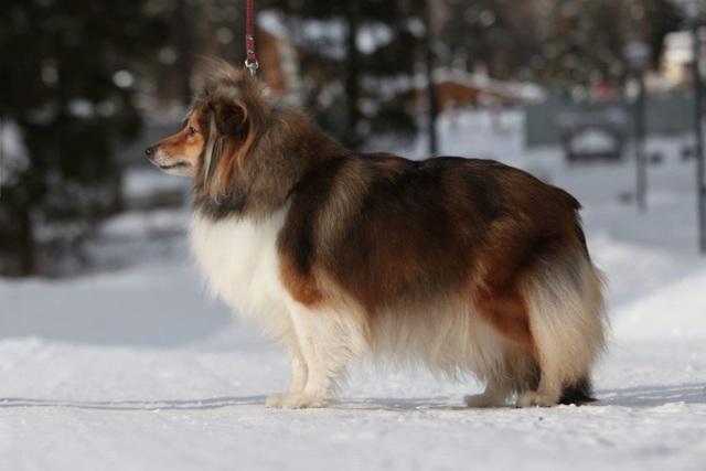 Порода собак Шелти: плюсы и недостатки