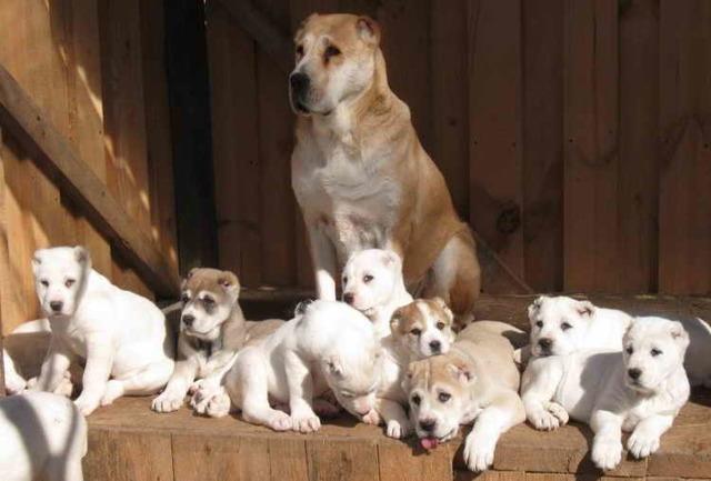 Порода собак Алабай: плюсы и недостатки