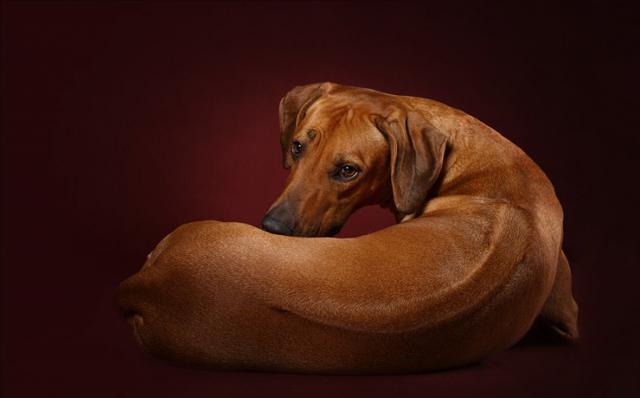 Родезийский риджбек: плюсы и минусы породы