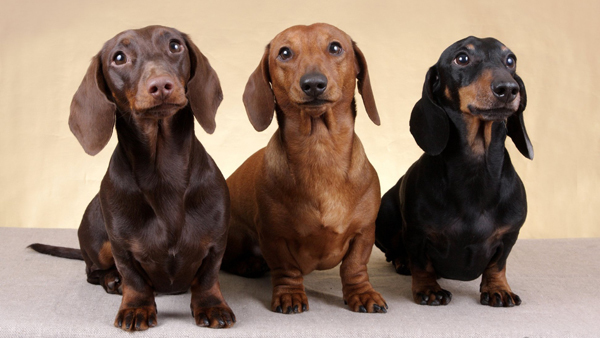 Плюсы и минусы собаки породы Такса