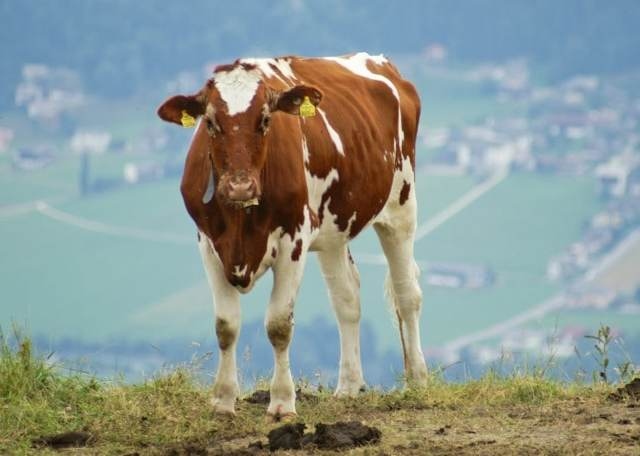 Айрширская порода коров: плюсы, минусы и особенности