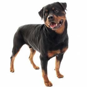 Плюсы и минусы собаки породы Ротвейлер