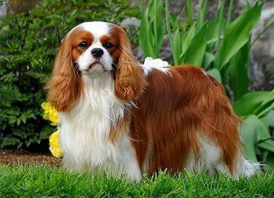 Кавалер кинг-чарльз-спаниель: плюсы и минусы породы собаки