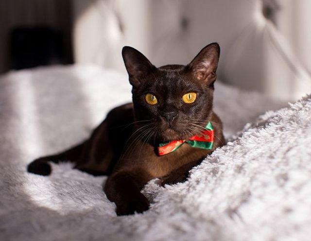 Плюсы и минусы бурманской породы кошек