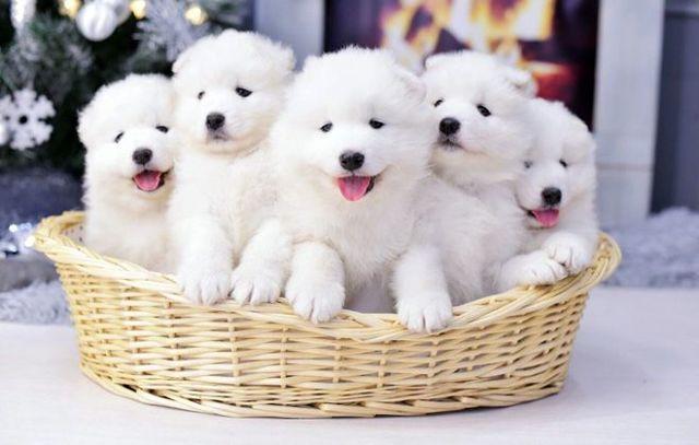 Самоедская собака — плюсы и минусы породы