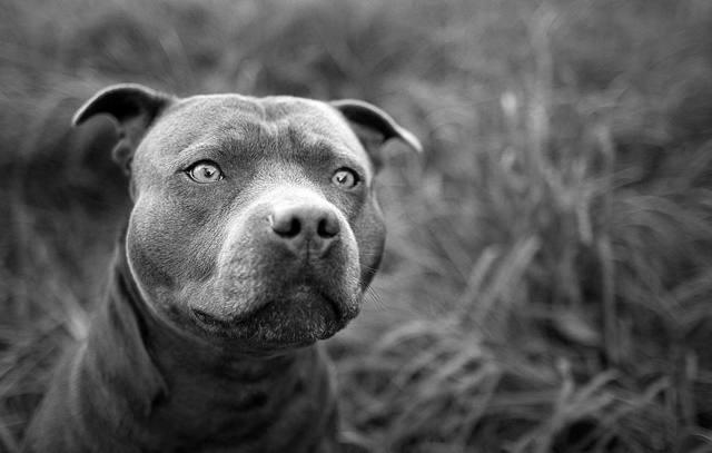 Порода собак Питбуль: плюсы и недостатки
