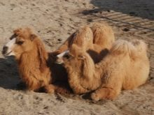 Подушки из верблюжьей шерсти: плюсы и минусы приобритения