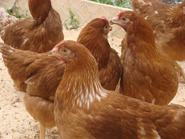 Бизнес на яйцах: плюсы, недостатки и что нужно знать