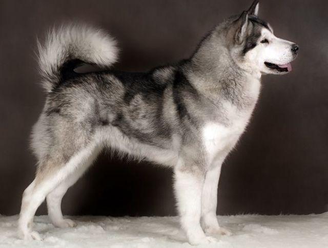 Маламут — плюсы и минусы породы собак