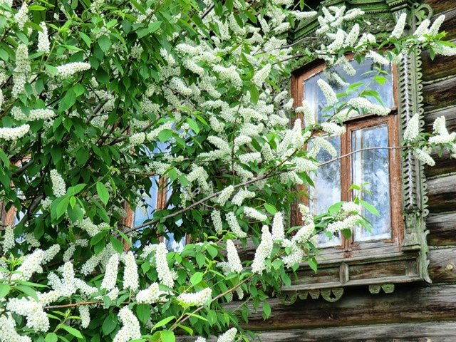 Черемуха на даче — плюсы и минусы растения