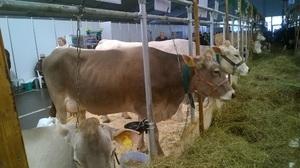 Швицкая порода коров: особенности, плюсы и минусы