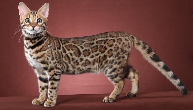 Бенгальская порода кошек — плюсы и минусы