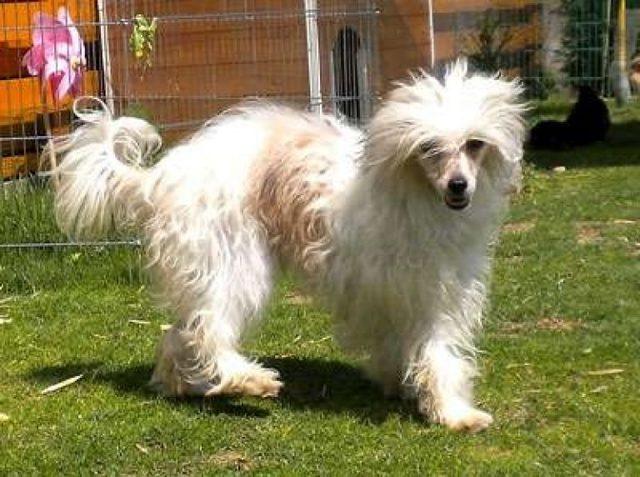Китайская хохлатая собака: основные плюсы и недостатки породы