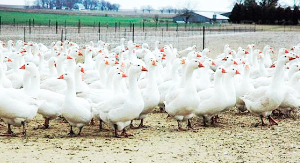 Разведение гусей как бизнес: плюсы и минусы